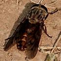 Tabanus? - Tabanus sulcifrons - female