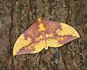 Eacles imperialis - male