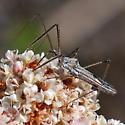 ID for a bug on buckwheat? - Zelus tetracanthus