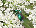 Cuckoo Wasp ID Request - Hedychrum