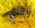Andrena? - Halictus confusus