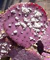 Cochineal - Dactylopius