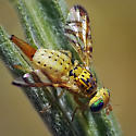 Tephritid Fruit Fly #3 - Chaetorellia succinea - female