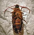 Tragosoma - Tragosoma harrisii - female