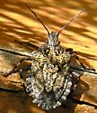 Stink Bug - Brochymena - Brochymena affinis