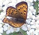 Purplish Copper -  Lycaena helloides - Lycaena helloides - female