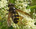 syrphid fly: Sericomyia chalcopyga? - Sericomyia chalcopyga