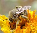 Fuzzy bee - Diadasia