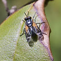 neat fly with wing pattern - Euthera tentatrix