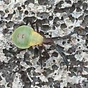 Insect - Chelinidea vittiger