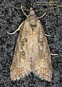 Tortricidae - Cnephasia stephensiana