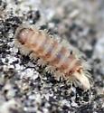 Bristly Millipede - Polyxenus lagurus