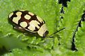 Flea Beetle - Alagoasa jacobiana