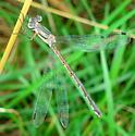 Lestes australis