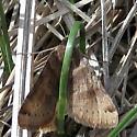 Day-flying moth - Caenurgina