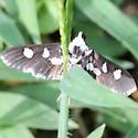 Grape Leaffolder Moth - 5159 - Ventral - Desmia