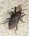 Curculionidae - Sphenophorus venatus