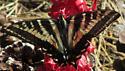 Pale Tiger Swallowtail on Snowplant - Papilio eurymedon