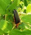 Beetle in the roses - Stenocorus schaumii