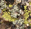 Rock lichen mite habitat