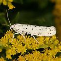 Spindle Ermine Moth - Yponomeuta cagnagella