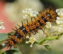 Ceanothus Caterpillar - Hemileuca eglanterina
