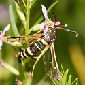 Clearwing Moth - Carmenta wellerae