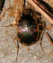 round sand beetle - Omophron americanum