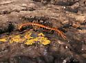 Orange centipede - Cryptops hortensis