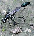 Spotted Thread-waisted Wasp  - Eremnophila aureonotata