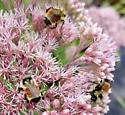Bumblebee3 - Bombus ternarius