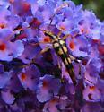 Long-legged spotted beetle - Strangalia luteicornis - male