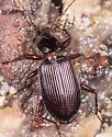 Beetle for ID - Platynus
