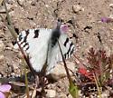 Desert Marble - Euchloe hyantis