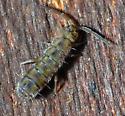 Small Bug - Isotoma delta