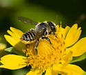possibly sweat bee number 2 - Megachile parallela