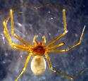 Bathyphantes weyeri - female
