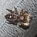 Jumping Spider - Phidippus putnami