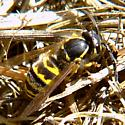 Unknown Yellowjacket - Vespula alascensis