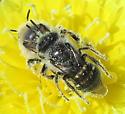 Megachilidae - Calliopsis puellae - male - female