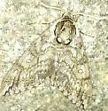 Grey moth - Ceratomia undulosa