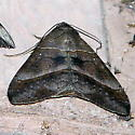 8743     Small Mocis Moth     (Mocis latipes) - Mocis latipes