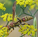 Common Paper Wasp - Polistes exclamans