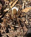 Tigrosa? - Gladicosa gulosa - female