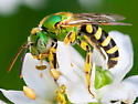Green sweat bee - Agapostemon virescens - male