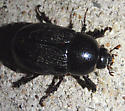 black scarab - Euetheola rugiceps