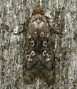 crescent-marked bondia - Bondia crescentella