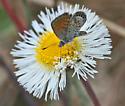 Western Pygmy Blue butterfly? - Brephidium exilis