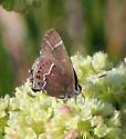 Thicket Hairstreak?  - Callophrys spinetorum