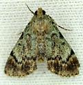 Moth - Epipaschia superatalis